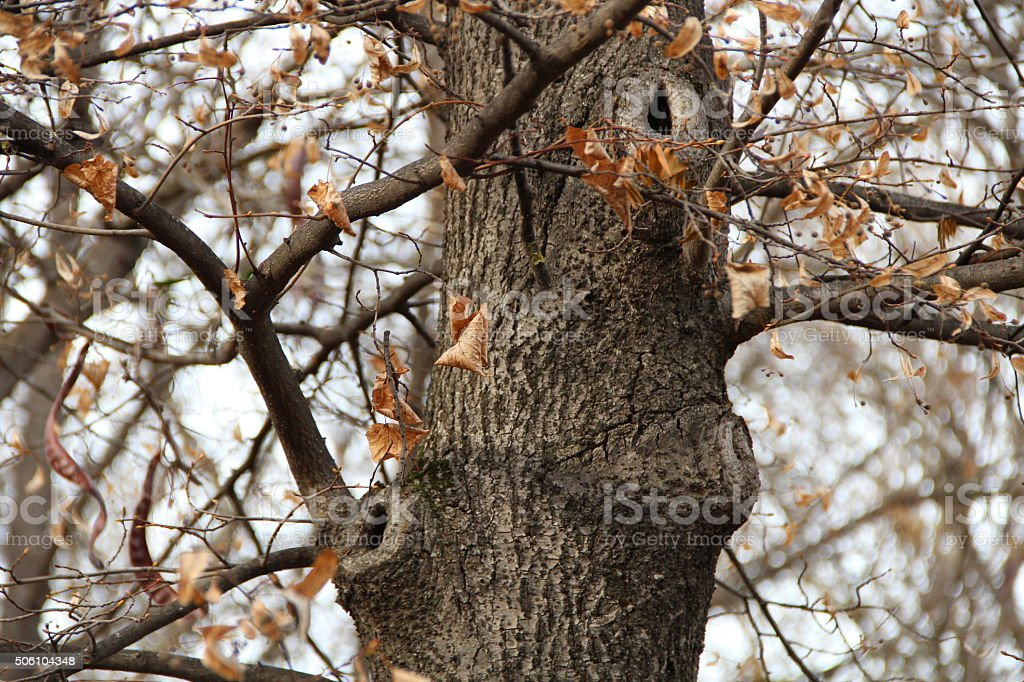 Autumn tree with a hollow stock photo