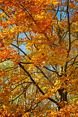 Autumn tree with red, orange and yellow colored leaves