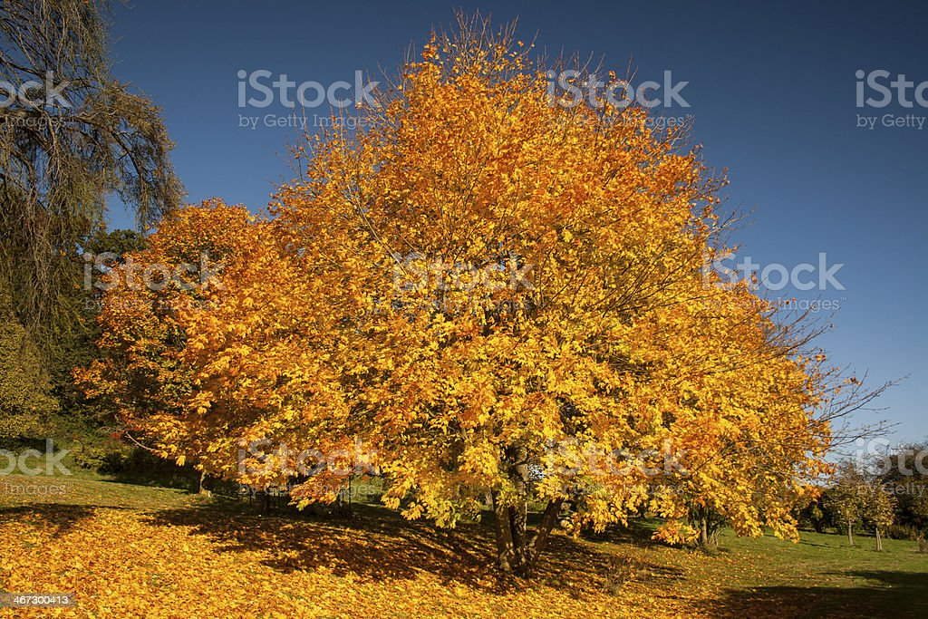 Autumn tree yellow orange leaves royalty-free stock photo