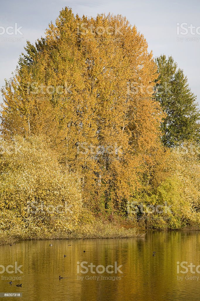 Autumn trees and ducks on a lake royalty-free stock photo