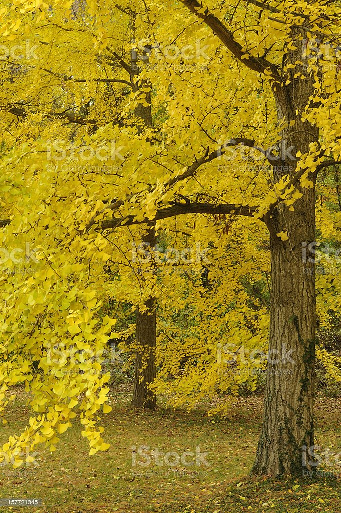 Autumn Trees in Peak Color royalty-free stock photo