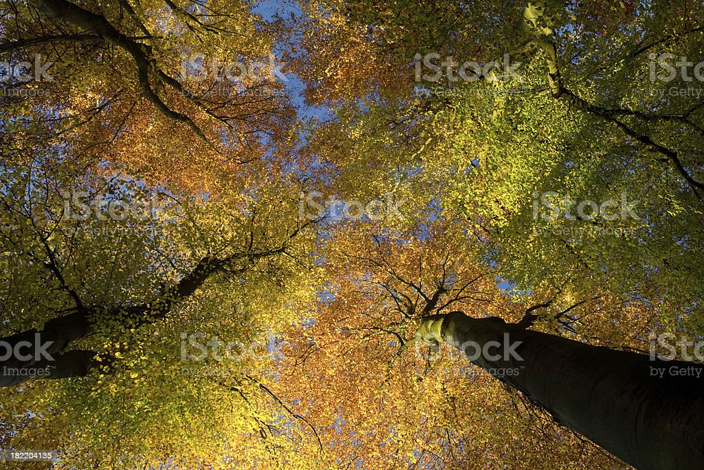Autumn trees, looking up. royalty-free stock photo