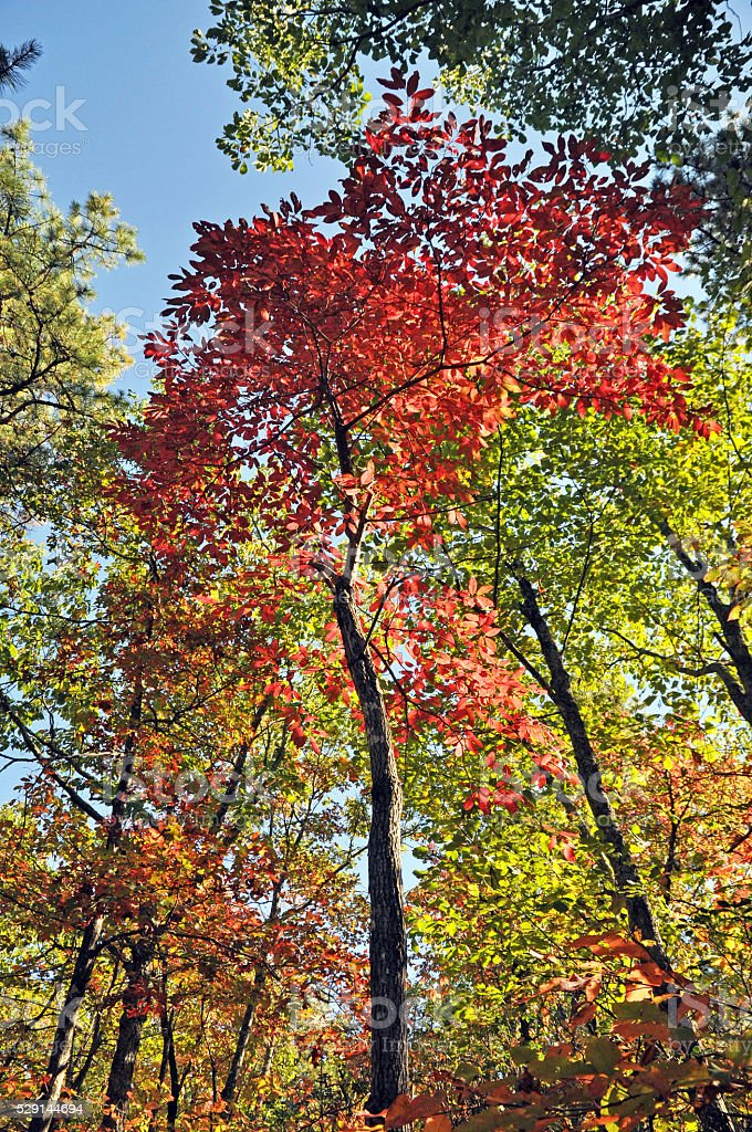 Autumn trees looking up royalty-free stock photo