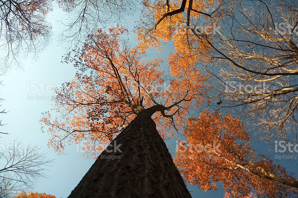 Autumn Trees (from below) royalty-free stock photo