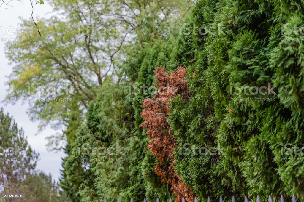 autumn trees with singe red leaf tree and dark green tree stock photo