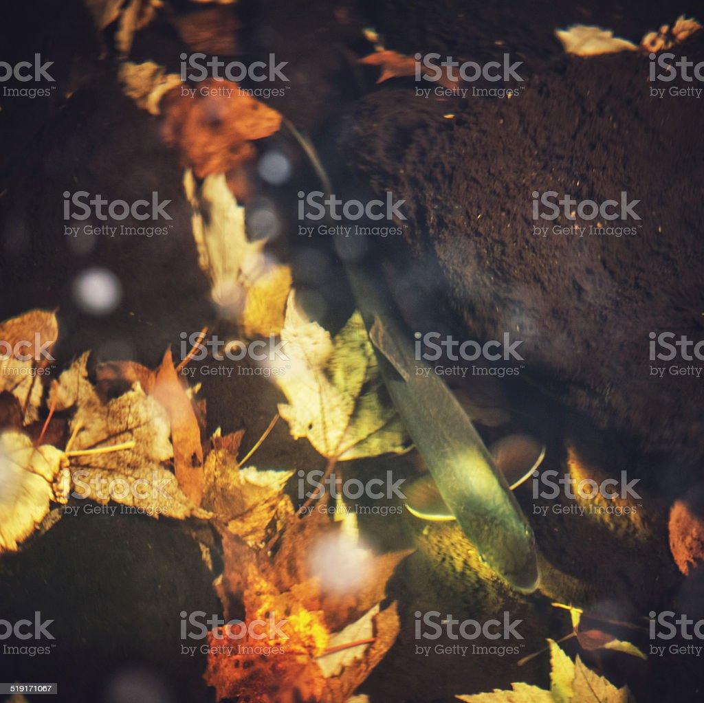 Autumn Trout stock photo