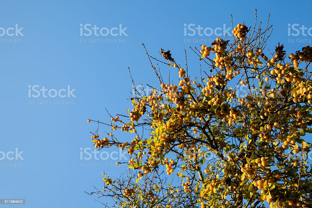 autumn view of ripe greengage plums againsy clear blue sky stock photo