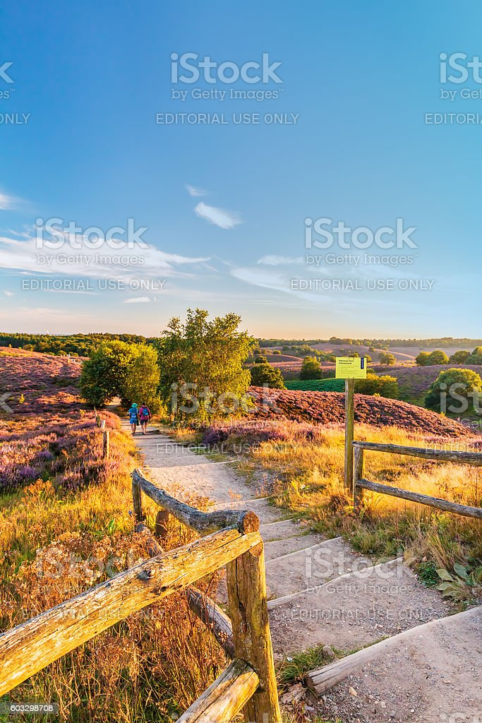 Autumn view with blooming heathland at national park The Veluwe stock photo