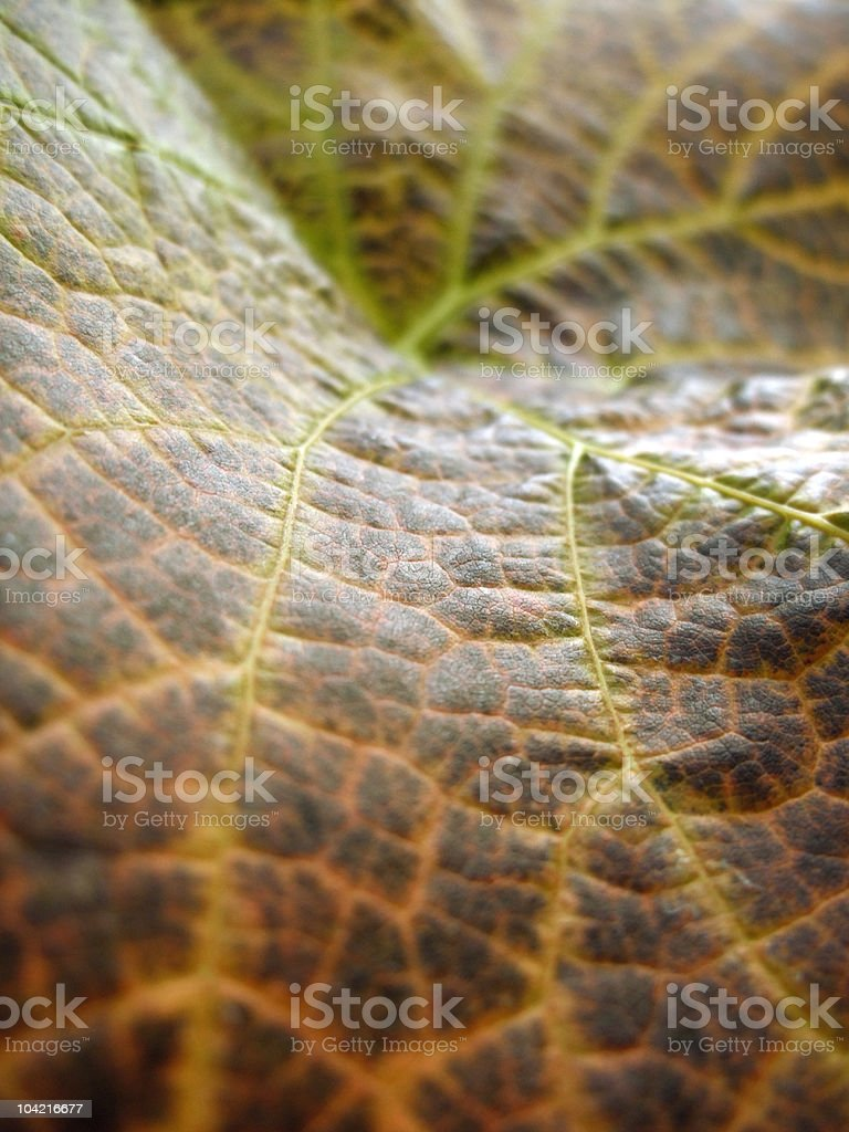 autumn vine leaf royalty-free stock photo