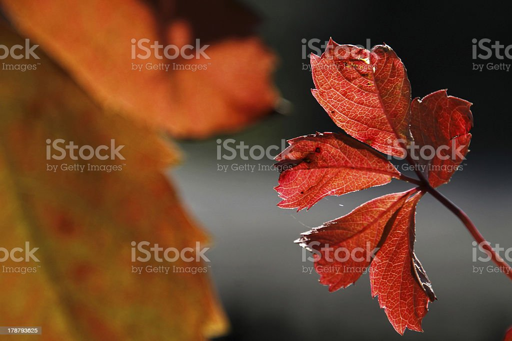 Autumn vine leaves in backlight royalty-free stock photo