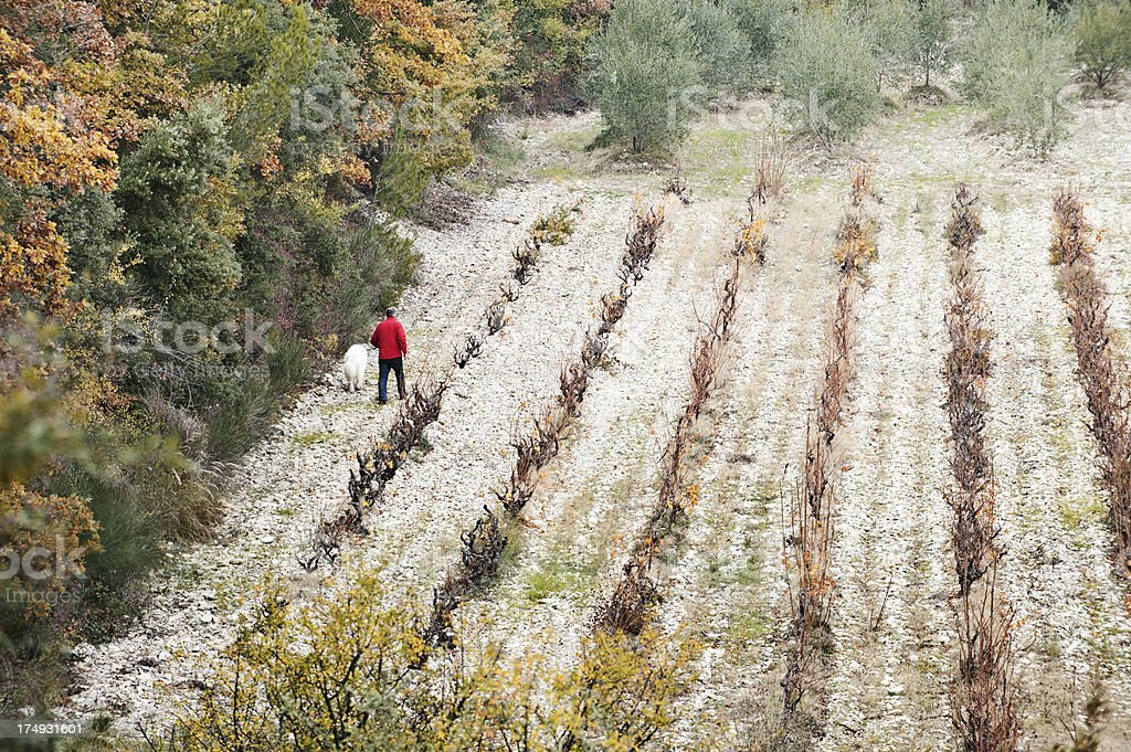 Autumn vines and olive grove, Provence stock photo
