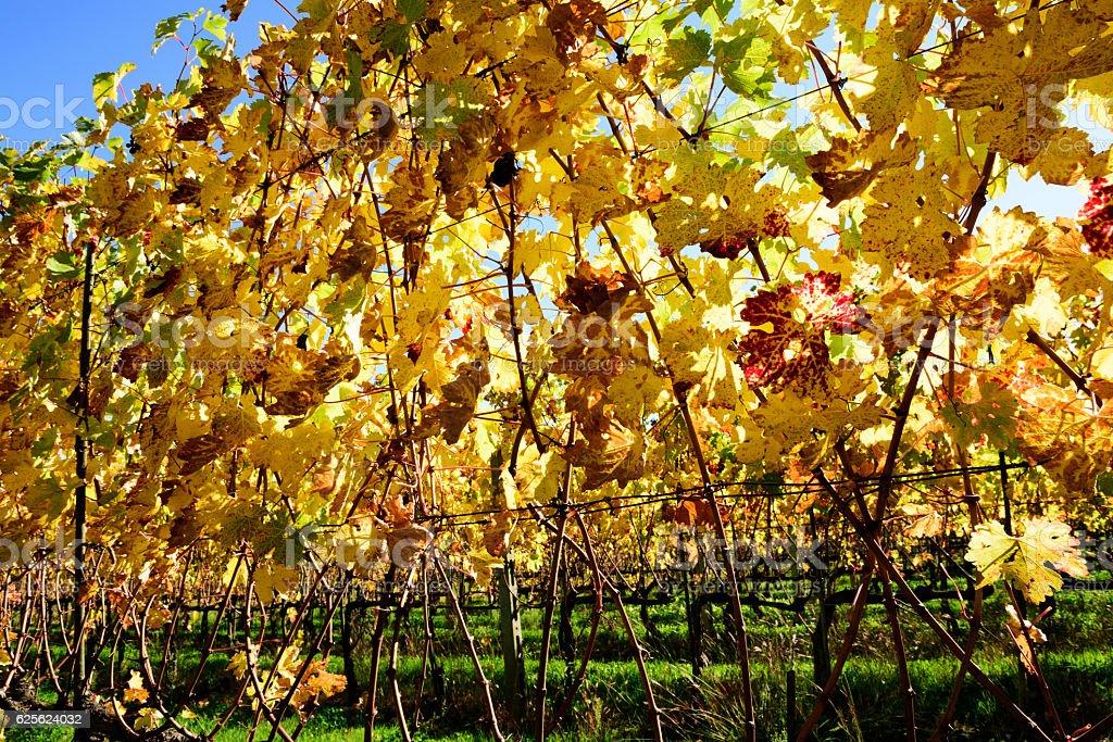 Autumn Vines at Montalcino, Tuscany stock photo