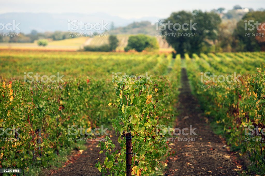 Autumn Vines in Napa stock photo