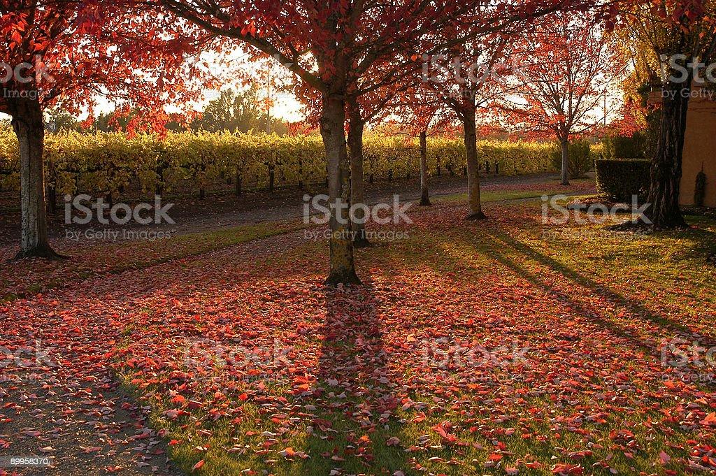 vineyard y árboles de otoño foto de stock libre de derechos