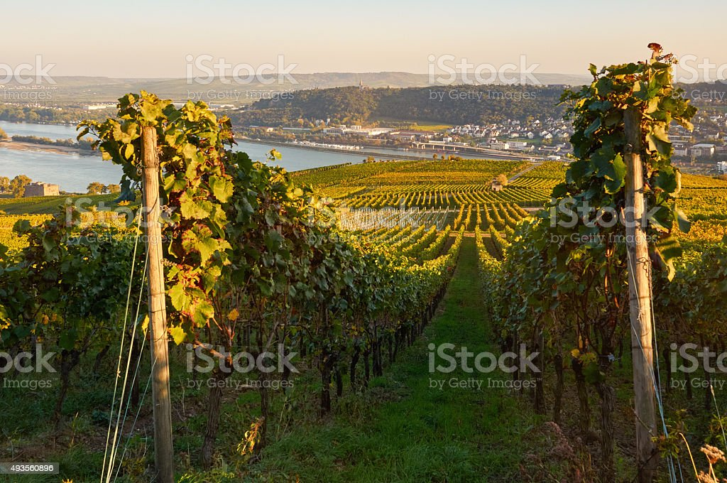 Autumn vineyard in Germany stock photo