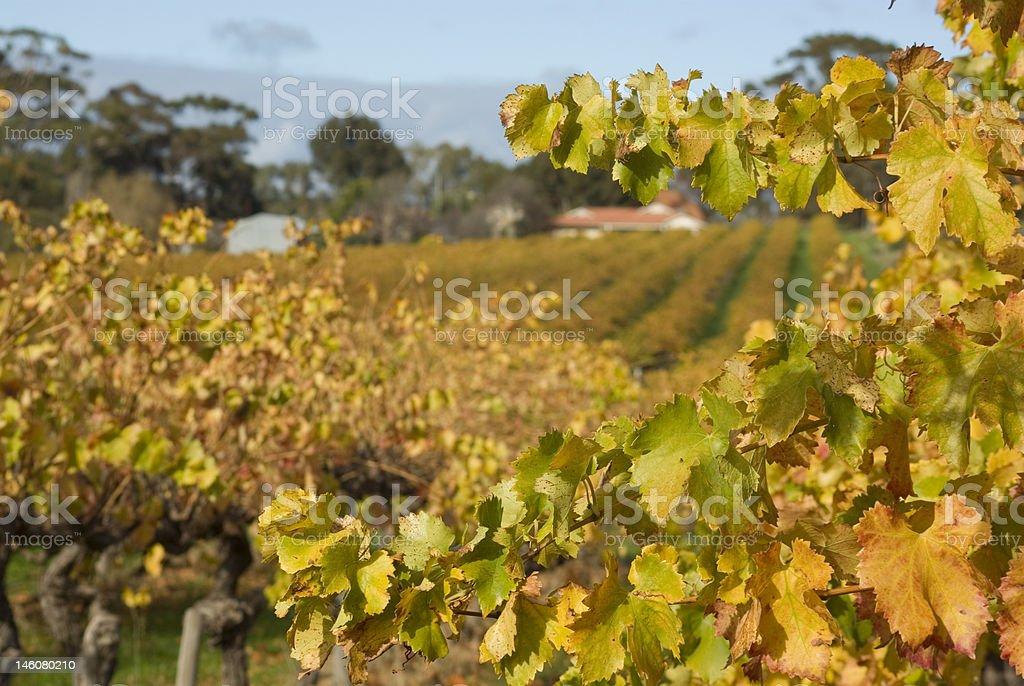Autumn Vineyard, McLaren Vale, South Australia royalty-free stock photo