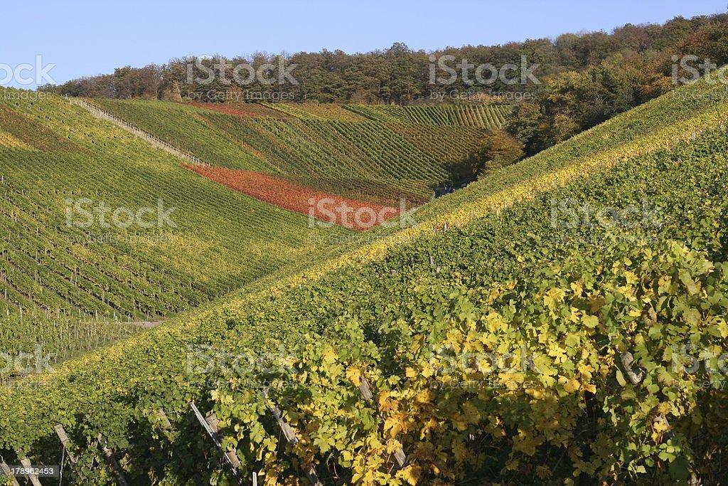 Autumn Vineyard royalty-free stock photo