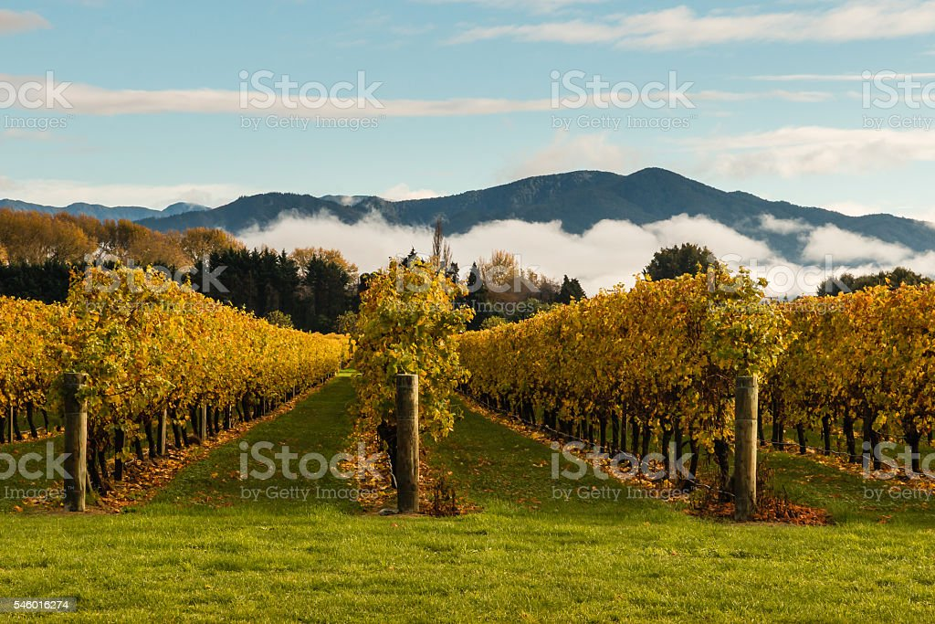 autumn vineyard with mountains and cloud inversion stock photo