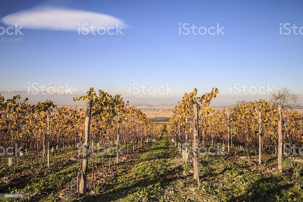 Autumn Vineyard with Yellow Leaves from the Top of  Hill stock photo