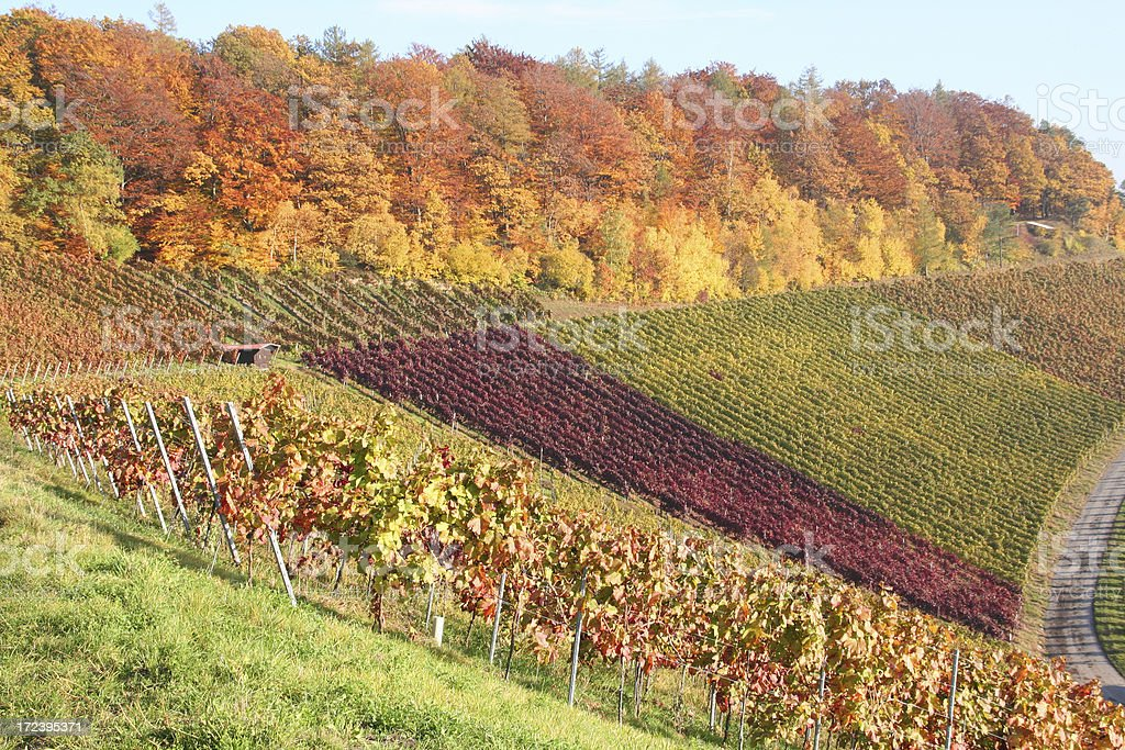 autumn vineyards in germany royalty-free stock photo