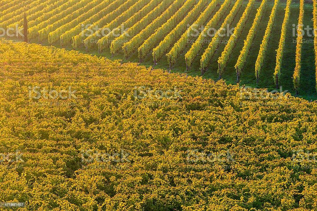 Autumn Vineyards royalty-free stock photo
