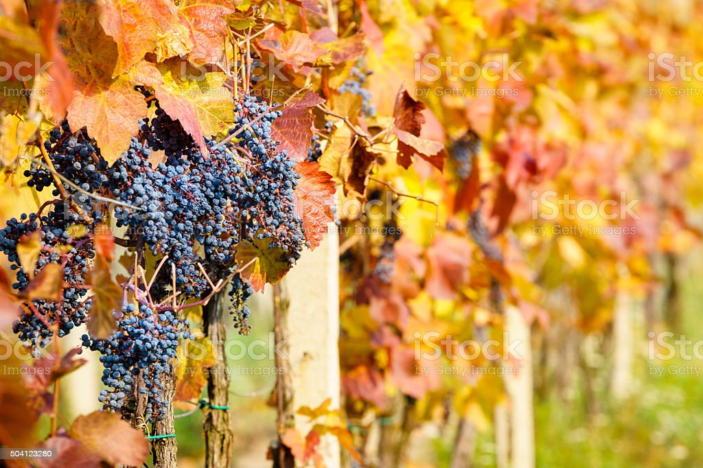 autumn vineyards stock photo