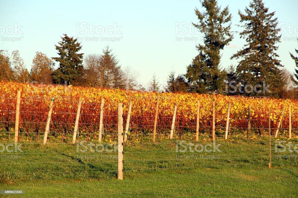 Autumn Vinyard stock photo