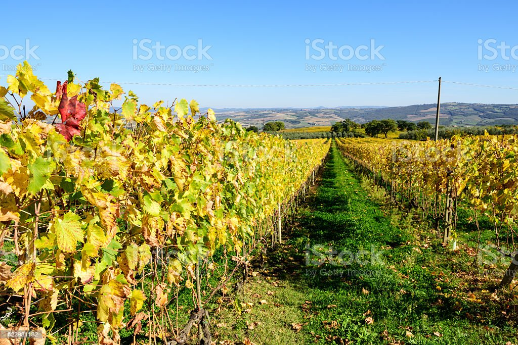 Autumn Vinyards in Tuscany stock photo