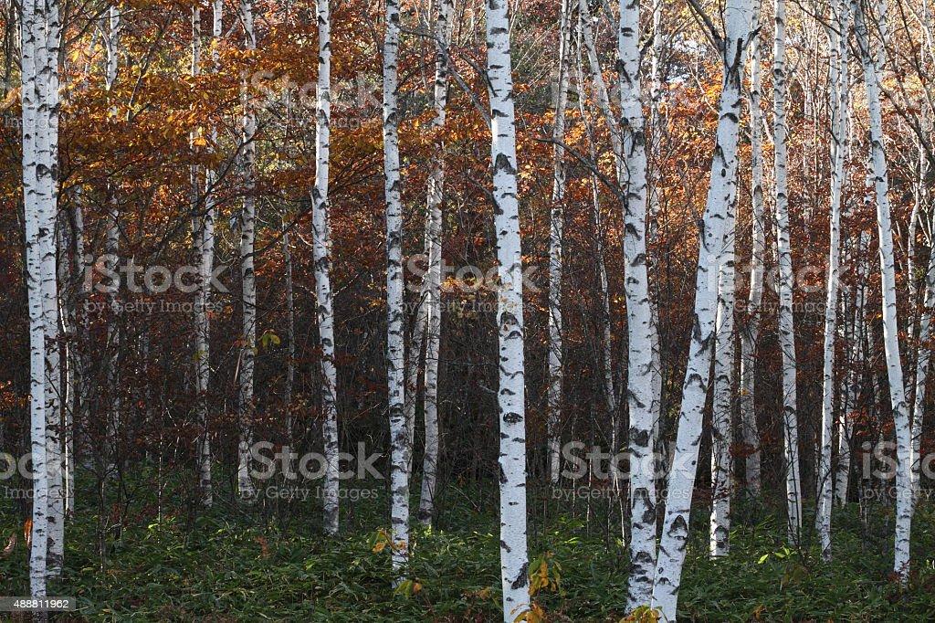 Autumn white birch forest stock photo