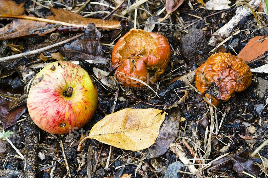 Autumn windfall decomposing apples stock photo