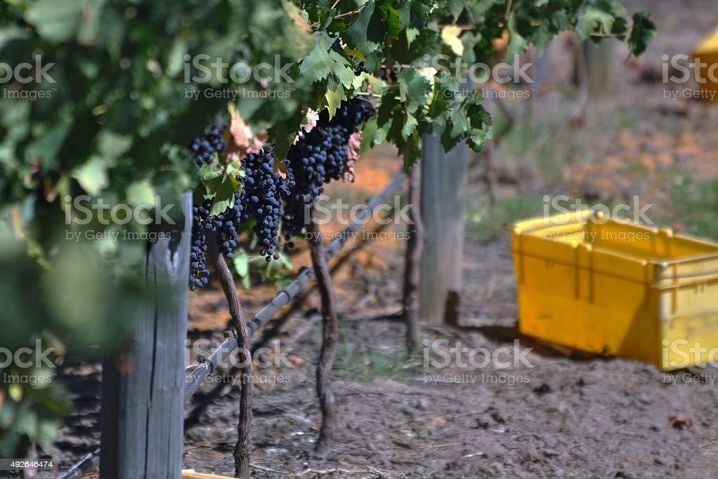 Autumn Wine Harvest, Swan Valley Western Australia stock photo