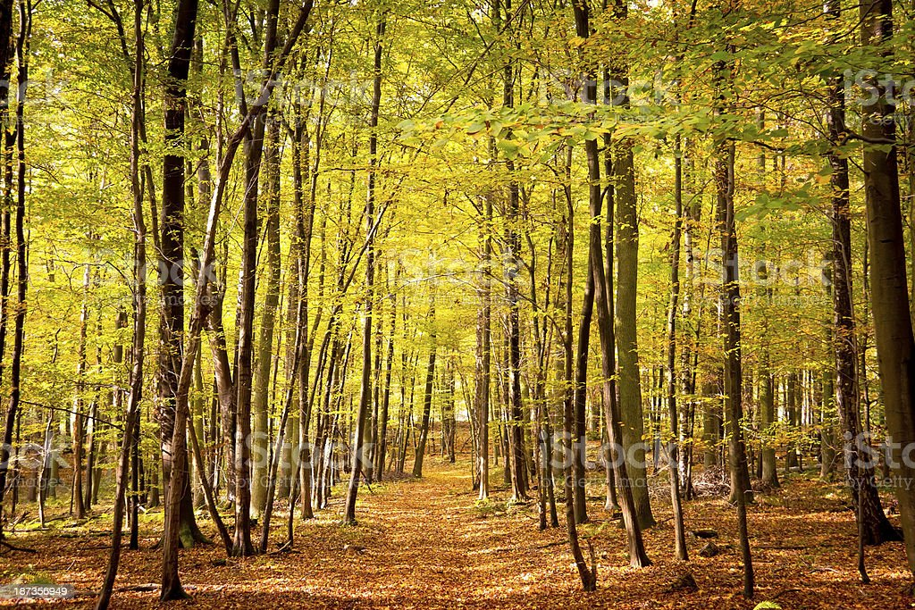 Autumn woods, Beech Forest stock photo