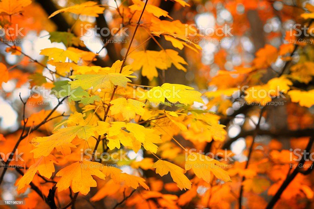 Autumn yellow and orange leafs royalty-free stock photo