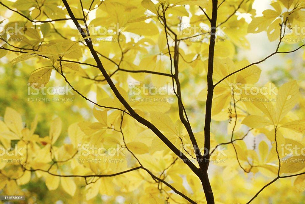 Autumn Yellow Foliage royalty-free stock photo