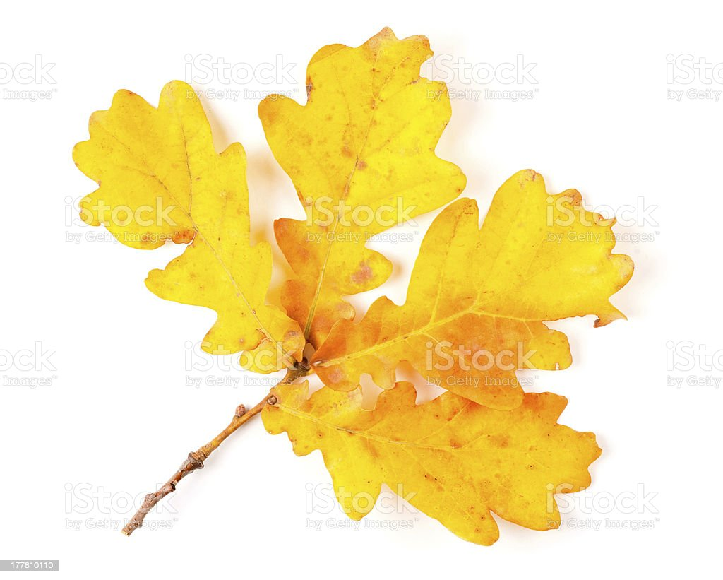 Autumn yellow leaves isolated on white background royalty-free stock photo