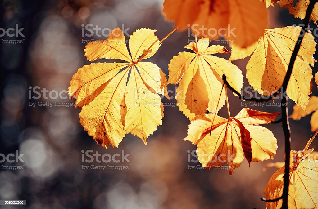 Autumn yellow leaves of chestnut stock photo