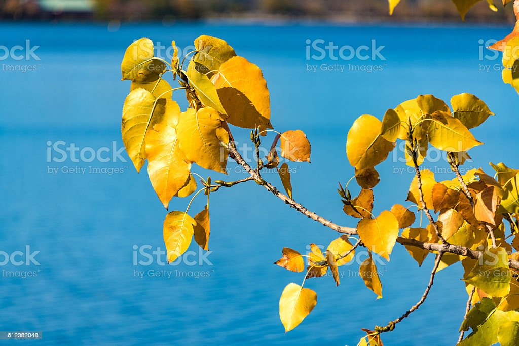 Autumn yellow leaves on blue water background stock photo