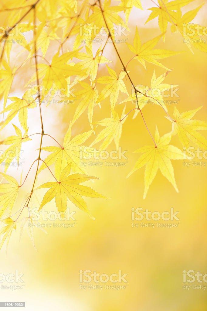Autumn Yellow Leaves royalty-free stock photo
