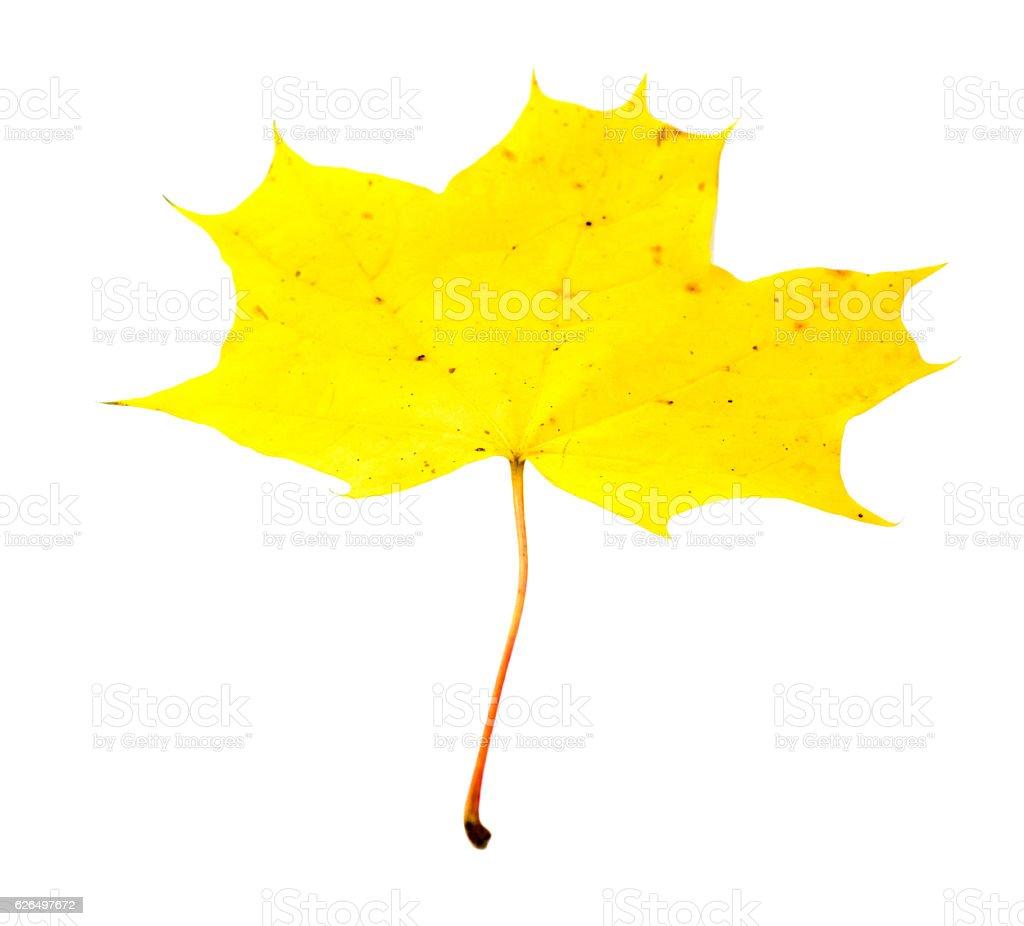 Autumn yellow maple leaf isolated on white background stock photo