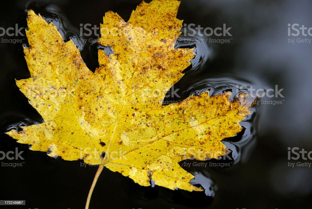 Autumn Yellow Maple Leaf royalty-free stock photo
