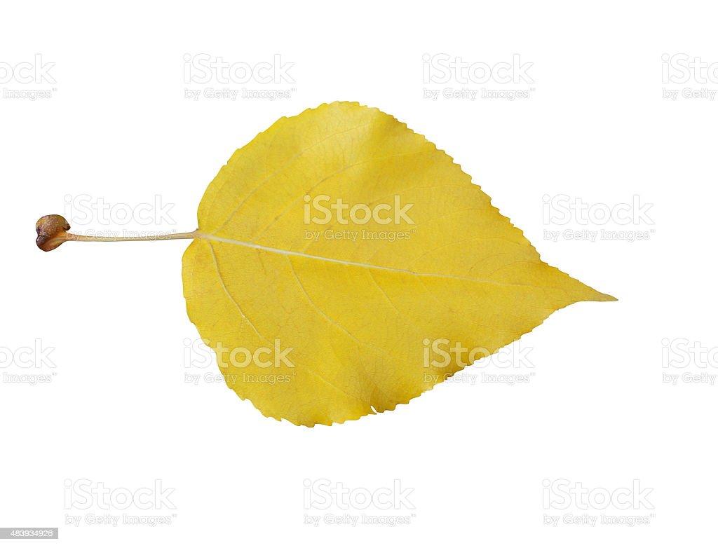 Autumn yellow poplar leaf stock photo