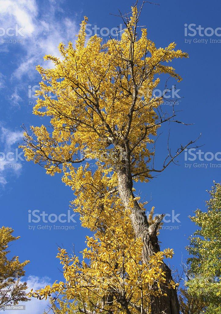 autumn yellow poplar royalty-free stock photo