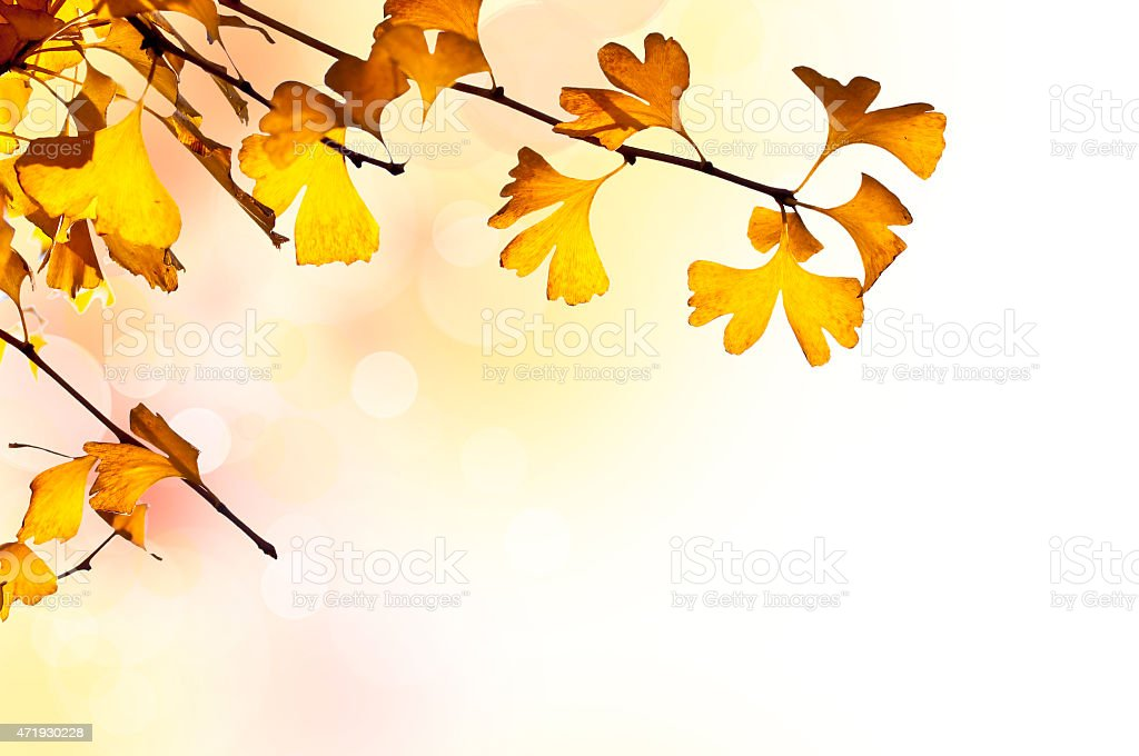 Autumnal background with ginkgo biloba branch and bokeh stock photo