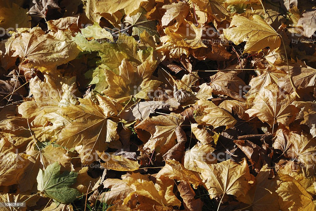 Autumnal backgrounds of abscissed leaves. stock photo