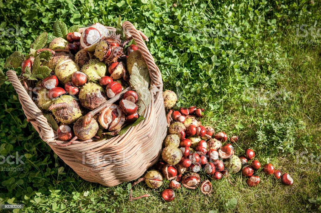 Autumnal basket of gathered conkers stock photo