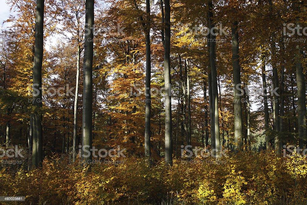 Autumnal beech forest stock photo