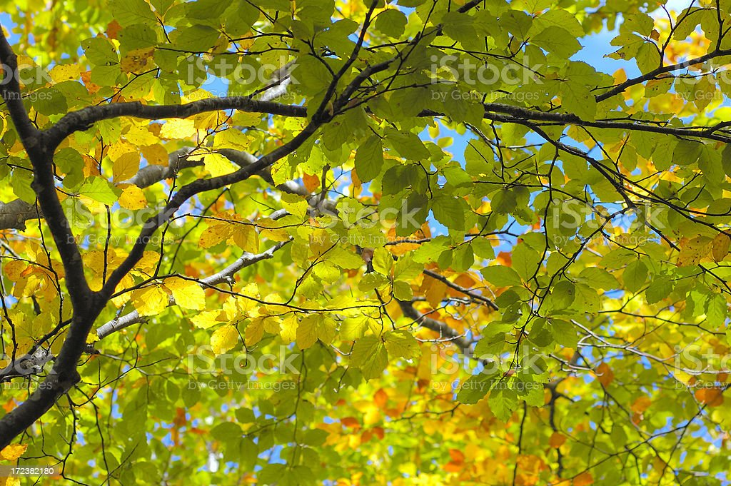 Autumnal Canopy royalty-free stock photo