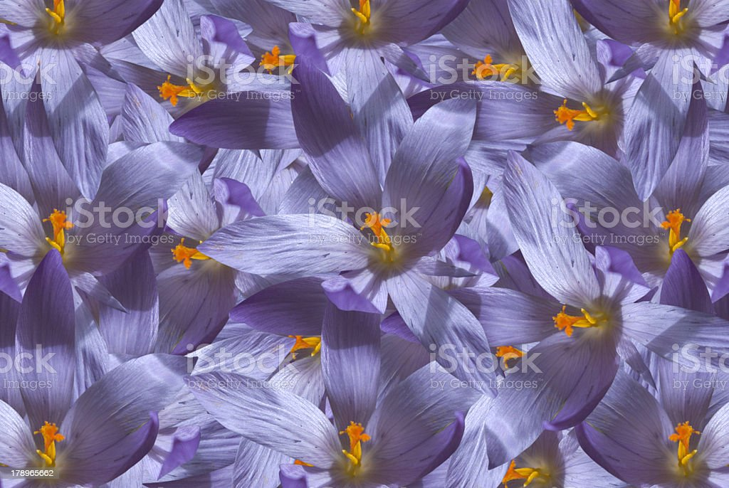 Colchicum autumnale royalty-free stock photo