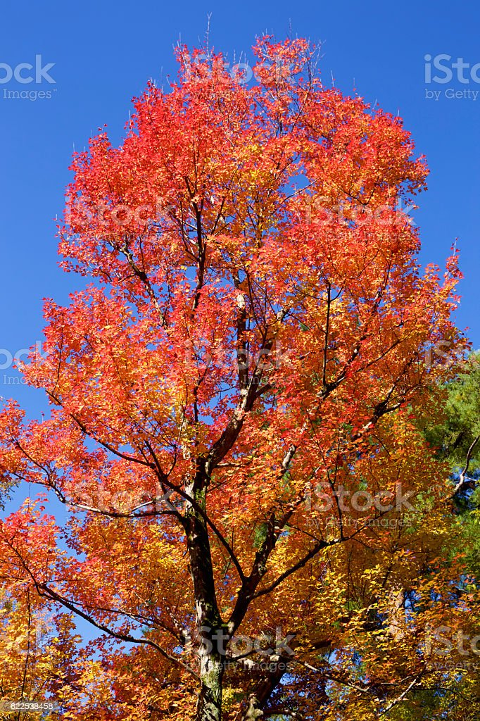 Autumnal colors of the leaves in Japan stock photo