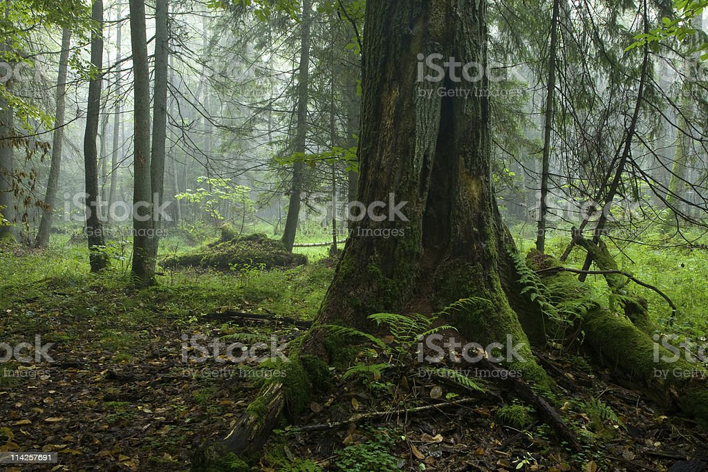 Autumnal deciduous stand of Bialowieza Forest stock photo